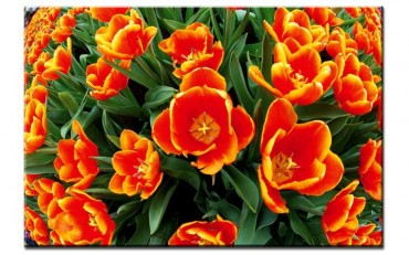 Tulpenfeld rot-orange – Bild 1